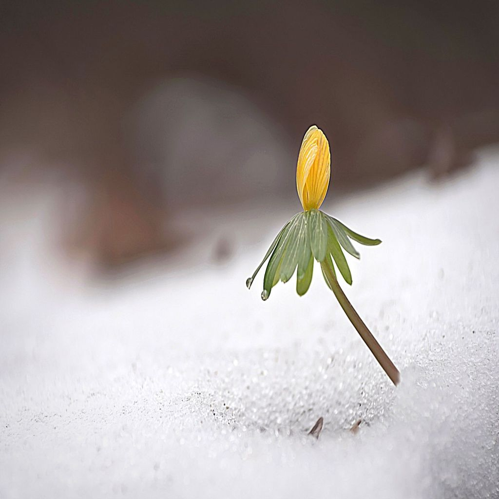 A small flower rises above a blanket of snow.